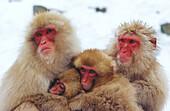 Japanese Macaque (Macaca fuscata) family