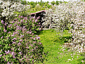 Common Lilac (Syringa vulgaris) and apple tree (Malus domesticus) in a country home garden. Estonia
