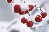 Fruits of European Mountain Ash (Sorbus aucuparia). Bavaria. Germany