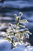 Young Norway Spruce (Picea abies) covered with snow. Bavaria. Germany