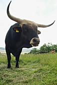 Bull, landscape near Kötzting. Upper Palatinate. Bavaria. Germany