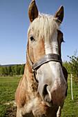 heavy horse on a meadow, Bavaria / Bayern, Germany
