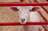 Sheep looking between red rails