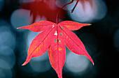 Japanese Maple (Acer palmatum). Japan