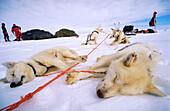 Huskies at rest. Greenland