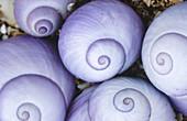 Violet storm shells. Kararua Janthina. New Zealand.
