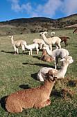 Alpacas, youngsters, enjoying winter sun. Canterbury. New Zealand.