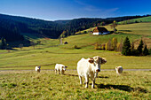 Cattle on meadow, near mount Steinberg, Black Forest, Baden-Wurttemberg, Germany