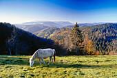 Horse on meadow, near mount Steinberg, Black Forest, Baden-Wurttemberg, Germany