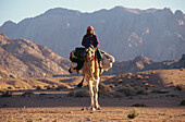 Bedouin riding a dromedary camel, Sinai, Egypt, Africa