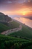 Vineyard Rudesheimer Roseneck in sunrise, Rudesheim, Rhine District, Hesse, Germany