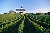 Vineyard Hochheimer Domdechaney, St. Peter and Paul church in background, Hochheim, Rhine District, Hesse, Germany