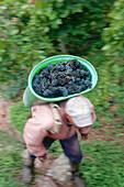 Grape harvest at Klingenberger castle hill, Klingenberg, Franconia, Bavaria, Germany