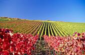 Vineyard in autumn, Escherndorf, Franconia, Bavaria, Germany