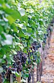 Grape-vine Pinot Noir, Walporzheimer Garkammer, Ahr, Rhineland-Palatinate, Germany