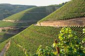 Vineyard Dernauer Pfarrwingert, Dernau, Ahr, Rhineland-Palatinate, Germany