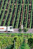 Vineyard Wurzburger Abtsleite, Wurzburg, Franconia, Bavaria, Germany