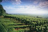 Vineyard Forster Ungeheuer, Forst, Palatinate, Rhineland-Palatinate, Germany