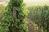Grape-vine, Forst, Palatinate, Rhineland-Palatinate, Germany