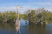 Great Blue heron standing in a swamp at Anhinga Trail, Everglades, Florida, USA