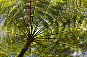 View at a tree fern at El Yunque National Park, Cordillera Central, Puerto Rico, Carribean, America