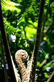 Fern in the sunlight at El Yunque National Park, Cordillera Central, Puerto Rico, Carribean, America