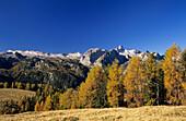 larches in autumn colours, Steinernes Meer range in background, alpine pasture Gotzenalm, Berchtesgaden range, Berchtesgaden, Upper Bavaria, Bavaria, Germany