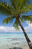 Coconut tree and Sailing Cruiseship Star Flyer (Star Clippers Cruises) in Rangiroa Atoll, Avatoru, Rangiroa, The Tuamotus, French Polynesia