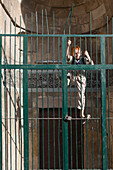 Boy climbing iron gate, Aleppo, Syria, Asia