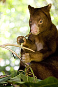 Treekangaroo eating leaves, Papua New Guinea, Oceania