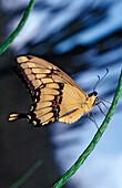 Thoas Swallowtail, Papilio thoas, Bras