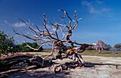 Dead tree, Netherlands Antilles, Bonaire, Bonaire