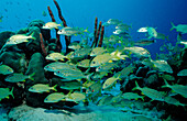 French Grunt, Smallmouth grunt, Haemulon flavolinatum, Haemulon chrysargyreum, Netherlands Antilles, Bonaire, Caribbean Sea
