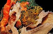 Longlure Frogfish, Antennarius multiocellatus, Netherlands Antilles, Bonaire, Caribbean Sea