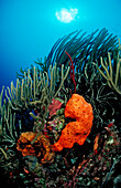Colorful coral reef, Guadeloupe, French West Indies, Caribbean Sea