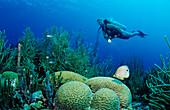 Scuba diver and Foureye Butterflyfish, Chaetodon capistratus, Netherlands Antilles, Bonaire, Caribbean Sea