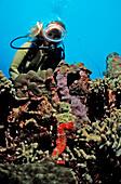 Scuba diver and Longsnout Seahorse, Hippocampus reidi, Netherlands Antilles, Bonaire, Caribbean Sea