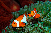 Two Clown anemonefishes, Amphiprion ocellaris, Indonesia, Bali, Indian Ocean