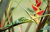 Fiji banded iguana (Brachylophus fasciatus). Endangered species. Fiji Island. South Pacific.