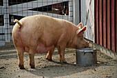 Außen, Bauernhof, Bauernhöfe, Eimer, Ein Tier, Eins, Einzeln, einzig, Ernährung, Farbe, Fressen, Futter, Fütterung, Horizontal, Natur, Säugetier, Säugetiere, Schwein, Schweine, Tageszeit, Tier, Tiere, Tiergarten, Tiergärten, Vieh, Viehzucht, Zoo, Zoos, J