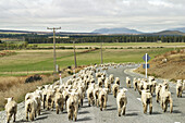 New Zealand. South Island. Flock of sheep being moved between pastures, walk down asphalt road, view from rear of flock, curve in rural road, mountains in distance