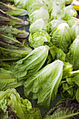 Richmond, Illinois, freshly picked and washed lettuce , organic farm, heads of red romaine lettuce
