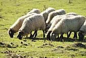 Agriculture, Animal, Animals, Basque Country, Color, Colour, Country, Countryside, Daytime, Europe, Euskadi, Euskal Herria, Exterior, Farm animals, Farming, Graze, Grazing, Herbivore, Herbivores, Herbivorous, Livestock, Mammal, Mammals, Outdoor, Outdoors