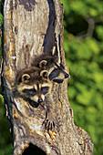 Common Raccoon (Procyon lotor), juvenile