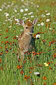 White-tailed Deer (Odocoileus virginianus), juvenile, fawn