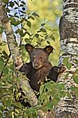Black Bear (Ursus americanus), juvenile