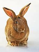 Domestic Rabbit (Oryctolagus cuniculus). Flemish breed.