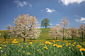 Orchard, lime-tree and blooming cherry trees in a meadow with dandelions.
