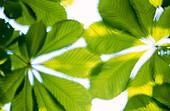 Horse chestnut (Aesculus hippocastanum), leaves in spring. Germany.