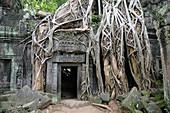 Ta Prohm Temple in Angkor Wat temple complex. Siem Reap. Cambodia